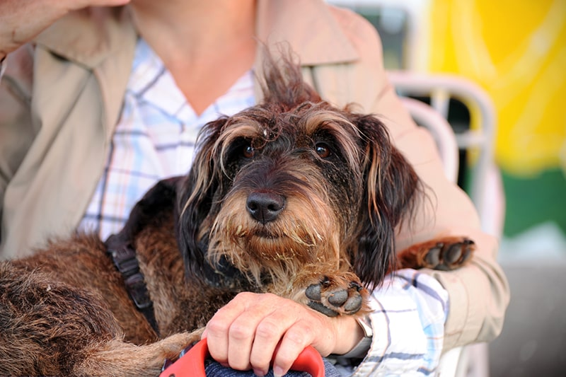 Wirehaired Dachshund in a black harness being held