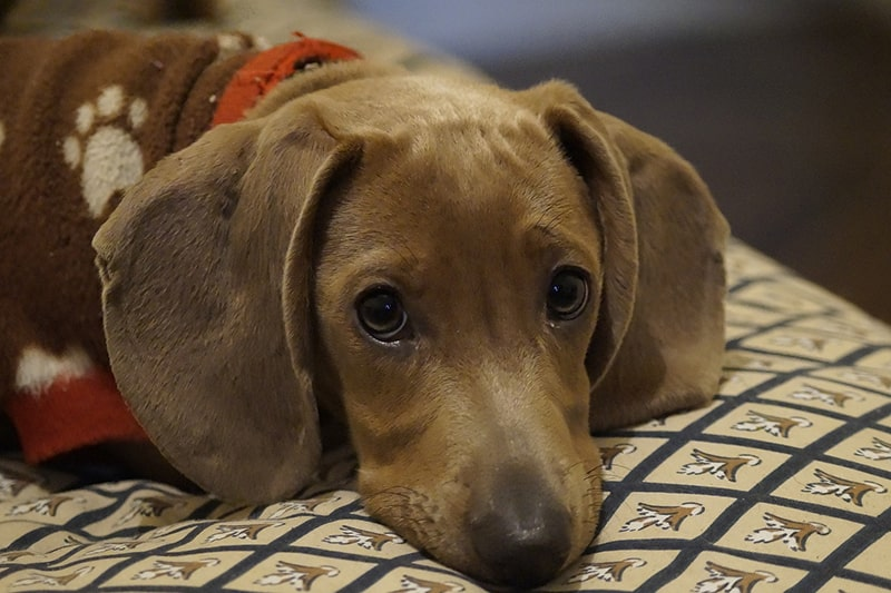 common health problems for Dachshunds _ Dachshund in a brown sweater with white paw prints