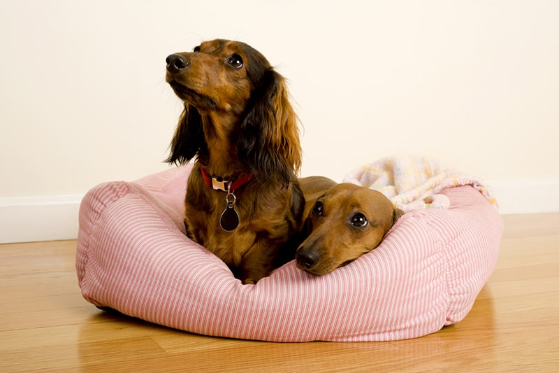 physical attributes of Dachshunds _  a longhaired and a shorthaired dachshund resting in a pink dog bed