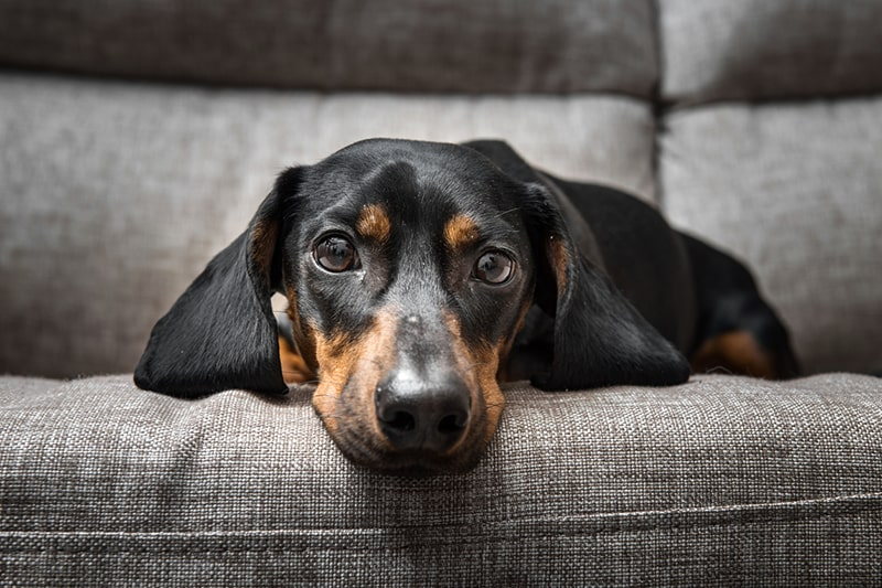 smooth-coat Dachshund on a gray couch