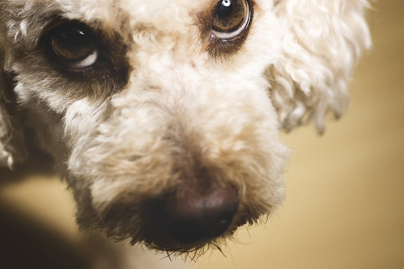 How to Detect and Treat Diabetes in Dogs _ ASPCA Pet Health Insurance _ poodle looking up