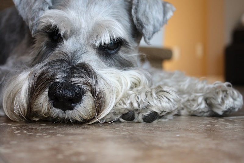 medical assistant dogs for diabetes patients _ grey Schnauzer resting on tile floor