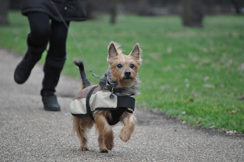 treating diabetes in dogs _ Australian terrier running on a leash