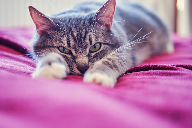 symptoms of congestive heart failure in cats _ gray cat resting on a magenta blanket