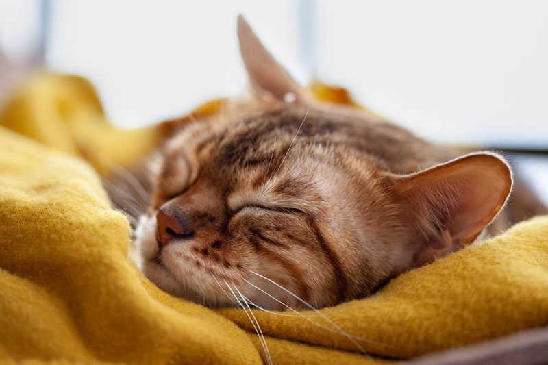 treating cats suffering from congestive heart failure _ Bengal cat sleeping on a yellow blanket