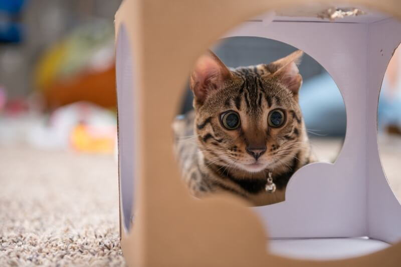 Bengal cat name suggestions _ Bengal cat staring into a box