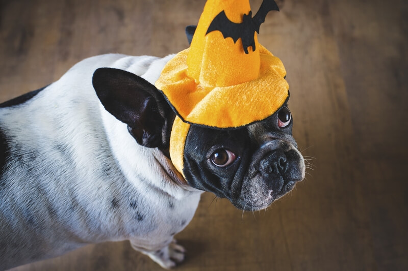 Halloween dog cat safety _ Bulldog with Halloween hat
