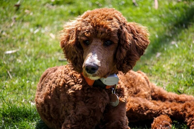 common symptoms of diabetes in dogs _ brown poodle puppy resting outside