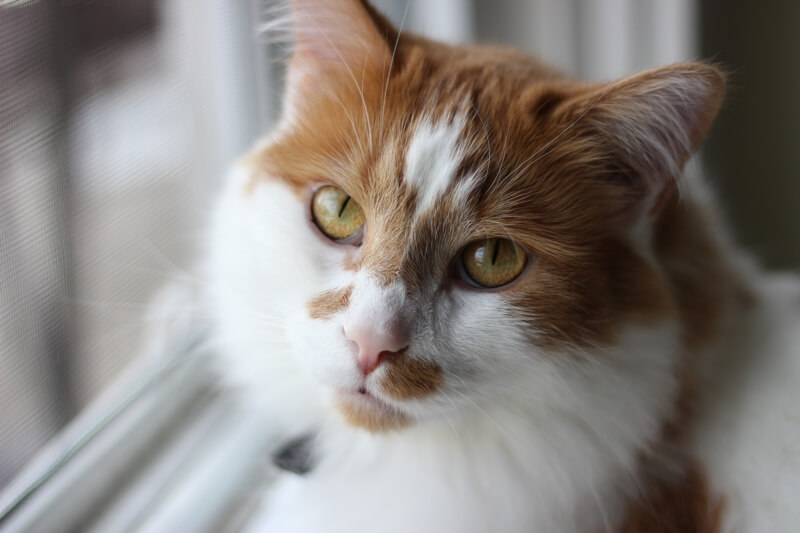 diagnosing congestive heart failure in cats _ longhair orange and white cat looking out a window