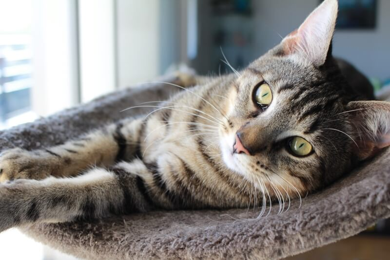 diagnosing urinary tract infections UTIs in cats _ tabby cat resting on a cat tower