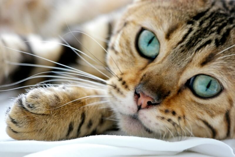 do Bengal cats like water _ Bengal cat with large turquoise eyes resting on a white sheet