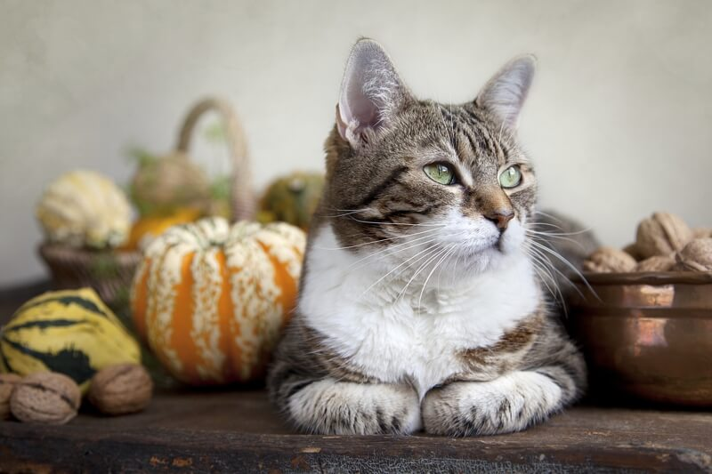 dog cat thanksgiving safety _ tabby cat surrounded by autumn gourds