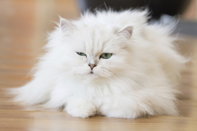 How To Make Persian Cats Like You