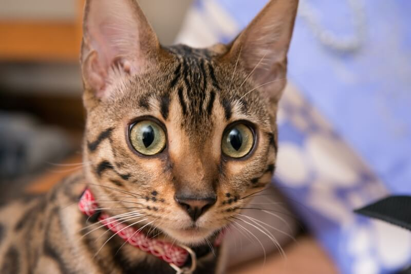 how to care for your Bengal cat _ Bengal cat with wide eyes and a red collar