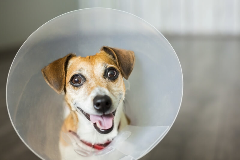 how to prepare for holiday pet emergency _ happy jack russell terrier in a cone of shame