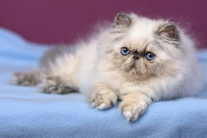 Small persian cat