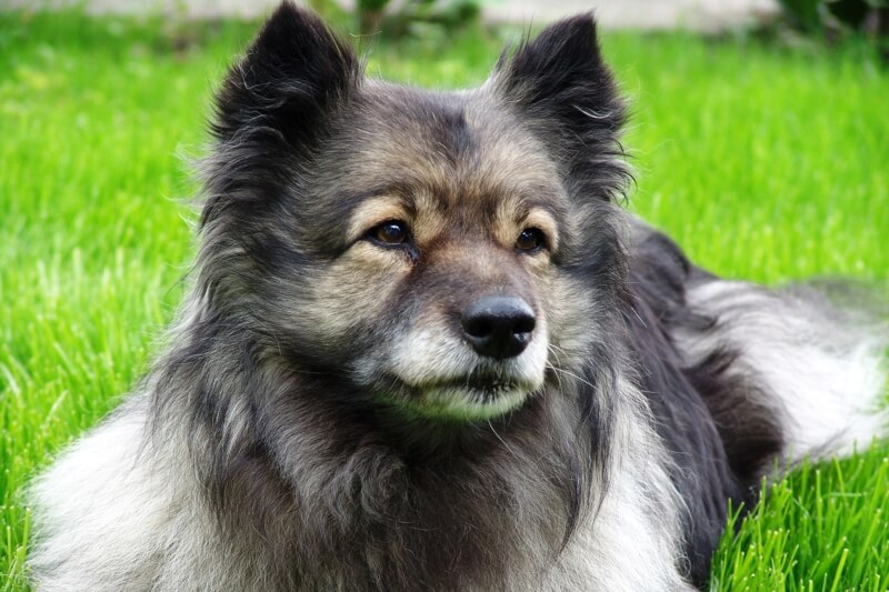 raising awareness for diabetes in dogs _ Keeshond resting in the yard