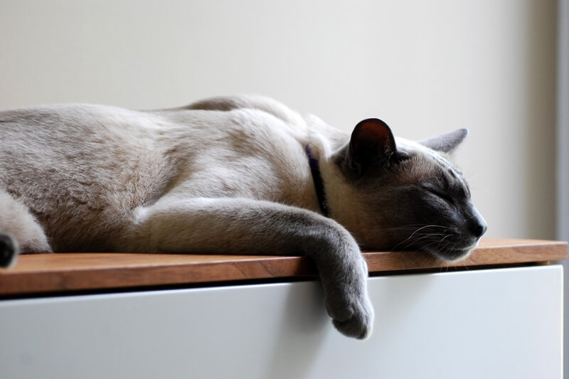 symptoms of congestive heart failure in cats _ Siamese kitten sleeping on a nightstand