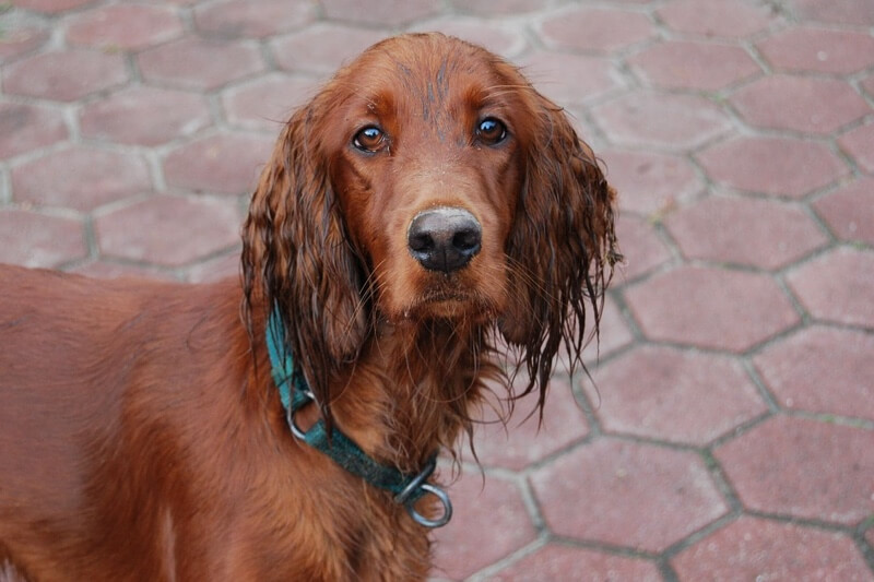 symptoms of hypothyroidism in dogs _ Irish setter with wet ears and a green collar