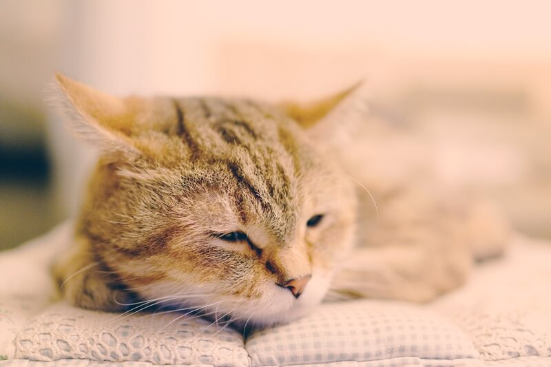 tip to prevent pet poisoning emergencies _ tabby cat resting on a blue and white checkered cushion