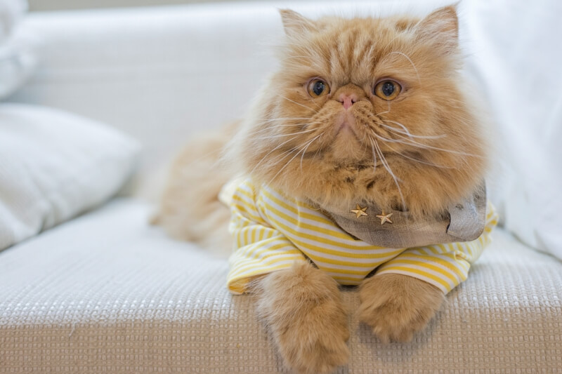 top health problems for Persian cats _ orange Persian cat in a yellow striped shirt