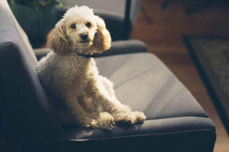 top human medications to keep away from cats and dogs _ fluffy white dog sitting on a chair