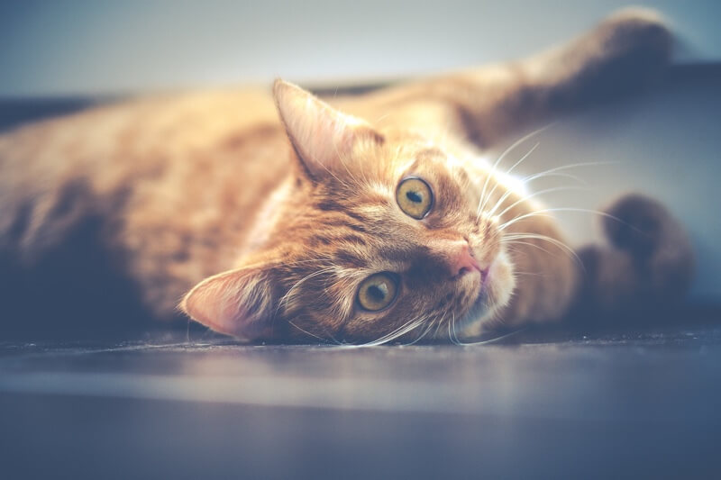 top human medications to keep away from cats and dogs _ orange tabby cat resting on the floor