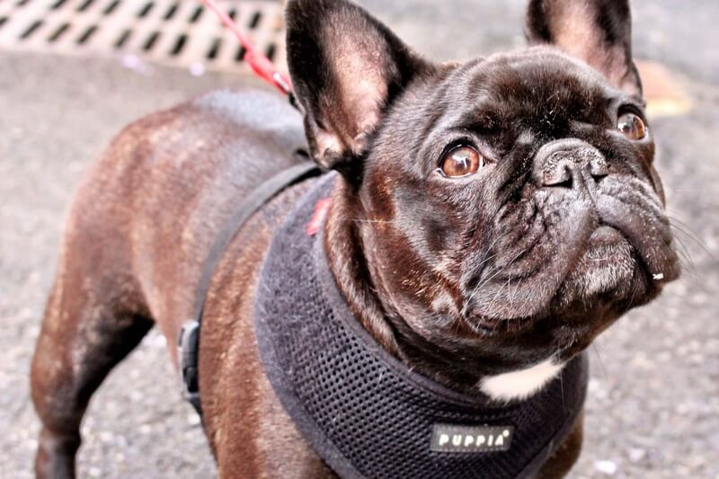 training a French Bulldog _ black Frenchie in a black harness with a red leash
