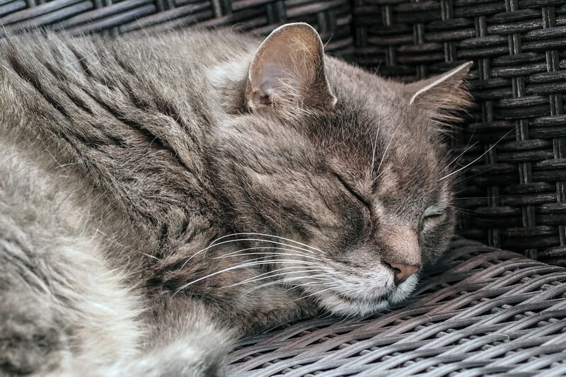 treating cats suffering from congestive heart failure _ grey cat asleep in a basket