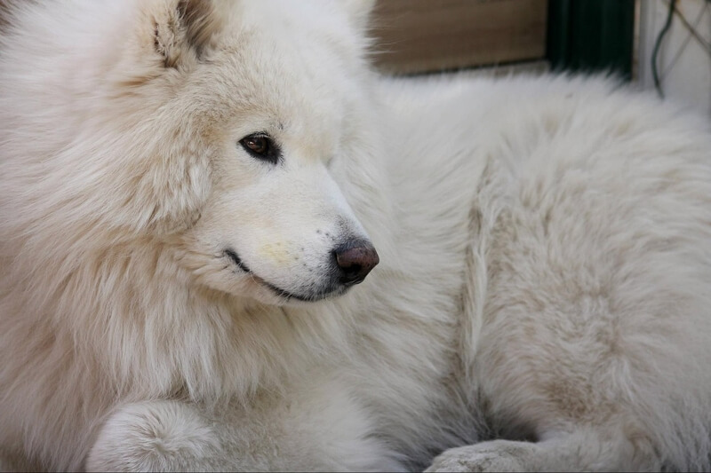 treating diabetes in dogs _ white Samoyed with brown eyes