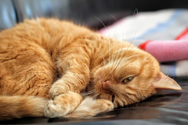 treating urinary tract infections UTIs in cats _ orange tabby cat curled up on a couch