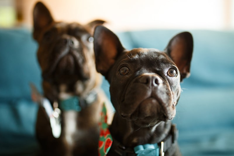 French Bulldog Facts: History, Personality, and Care _ ASPCA Pet Health Insurance _ two curious French bulldogs in front of a blue couch