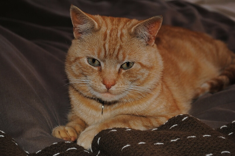 cats and pet insurance for behavioral issues _ orange tabby cat resting on a sofa