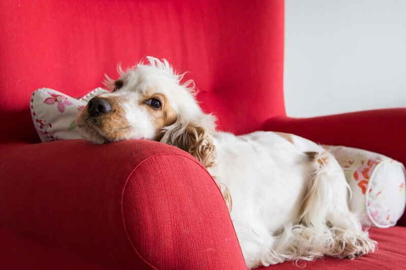 diagnosing ear infections in dogs _ white and tan cocker spaniel resting on a red chair