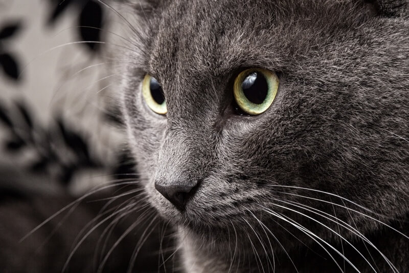 fun facts about Russian Blue cats _ close up of cat face with green eyes