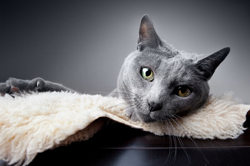 history of Russian Blue cats _ cat resting on a blanket atop a desk