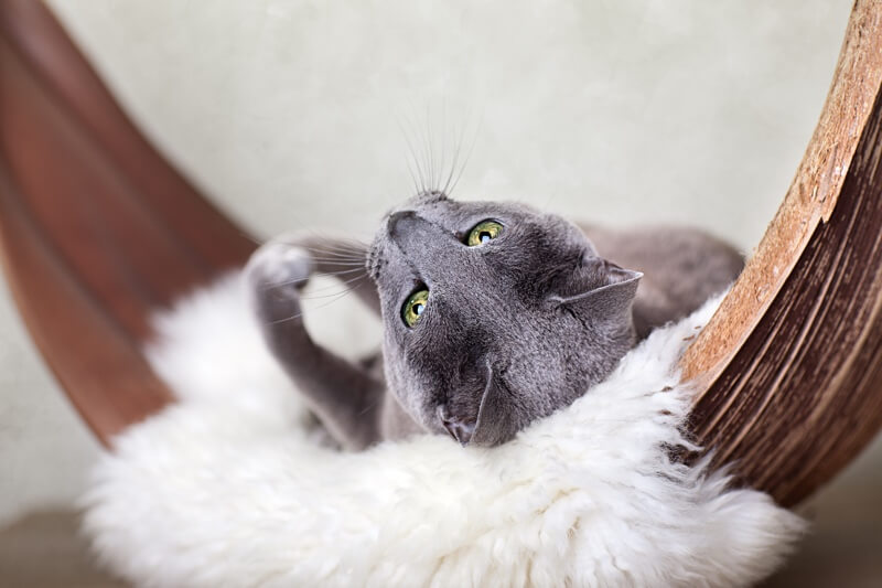 personality traits of Russian Blue cats _ cat resting on a blanket