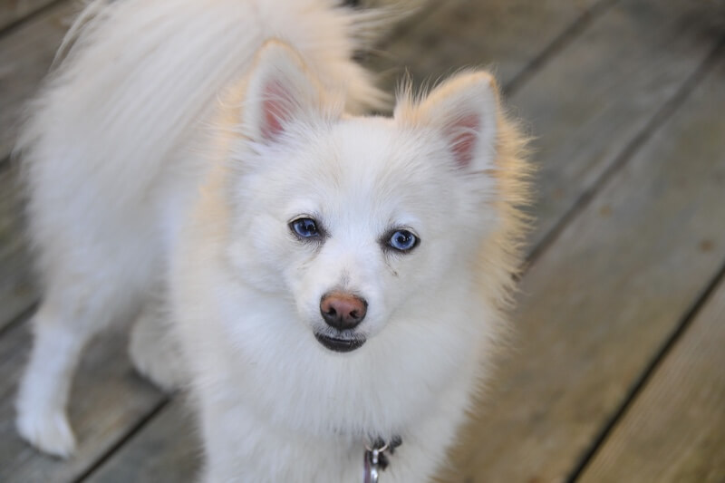 tips for sharing your home with a Pomeranian dog _ white Pom Pom dog on a deck