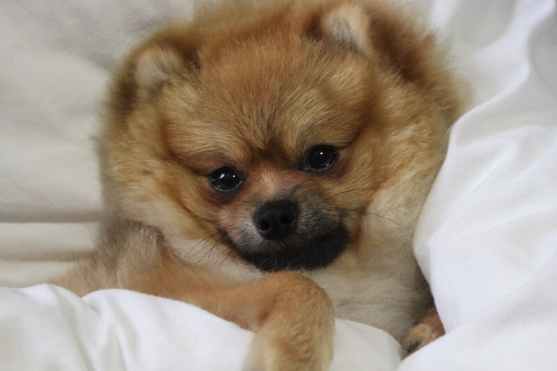 pomeranian cough 10 fun facts about pomeranians 1119