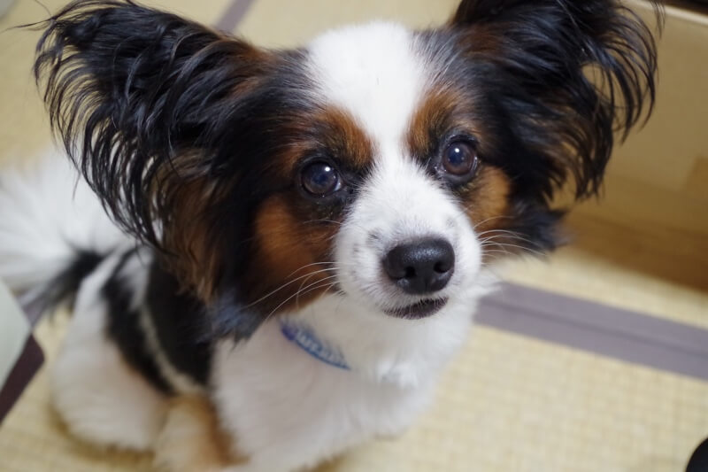 treating ear infections in dogs _ papillon with big ears and a blue collar