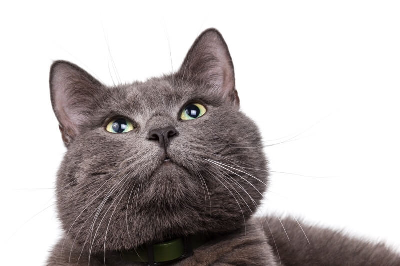 where did Russian Blue cats come from _ cat with a green collar
