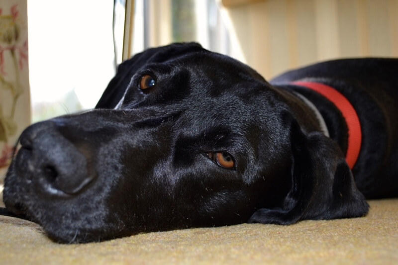 different dog breed at risk for UTIs _ black dog red collar lying on carpet
