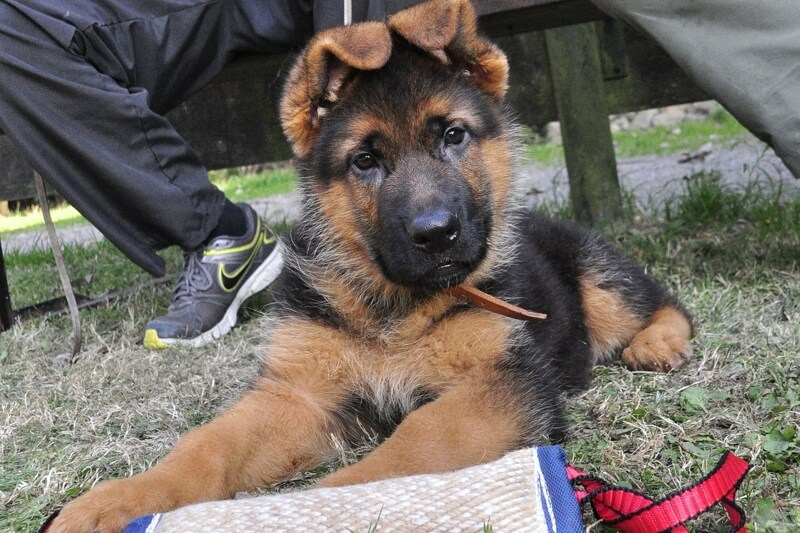 how to care for German Shepherd dogs _ GSD puppy with floppy ears