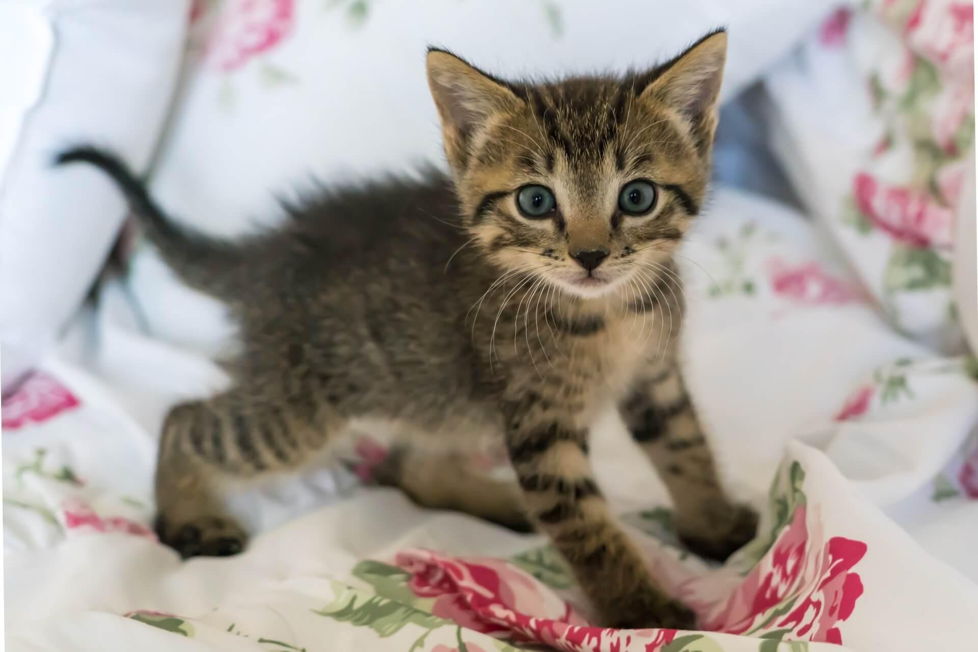 kitten bath time tips _ kitten standing on a rose-pattered blanket
