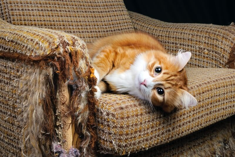 orange kitten scratching up a chair