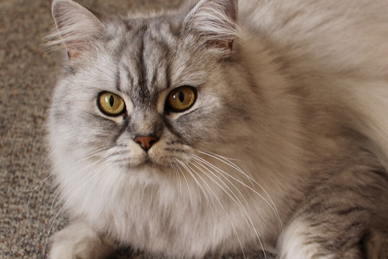 Domestic Longhair Cat Facts