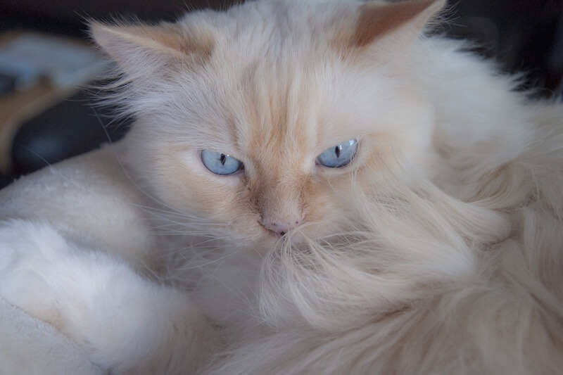 what do domestic longhair cats look like _ physical attributes