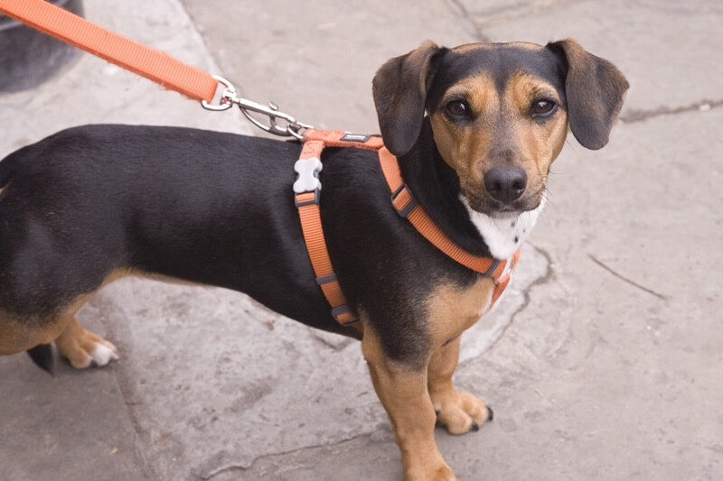 what to do if your dog has a seizure _ puppy with an orange harness on a leash