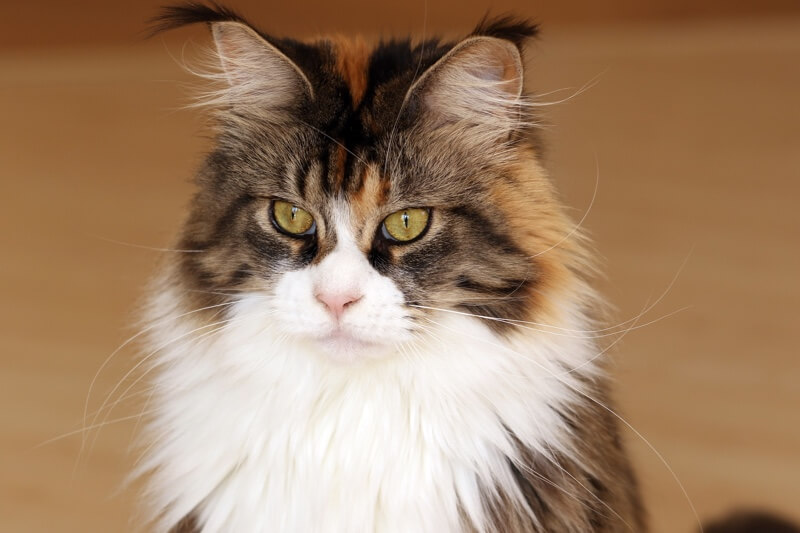 caring for a Maine Coon cat