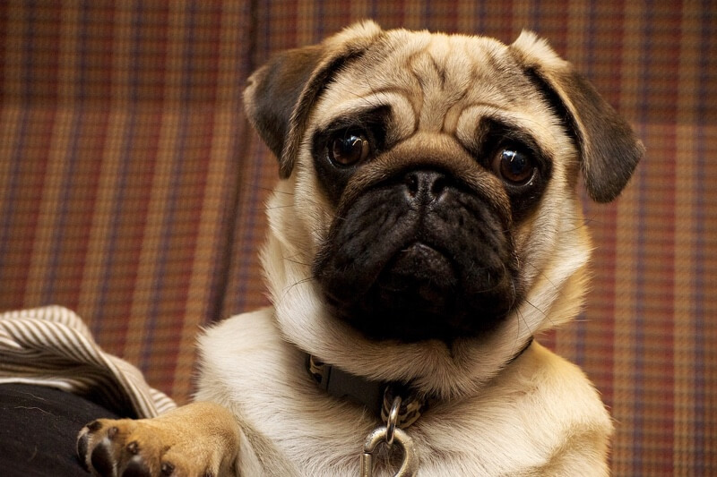 tips for caring for Pugs and wrinkly dogs